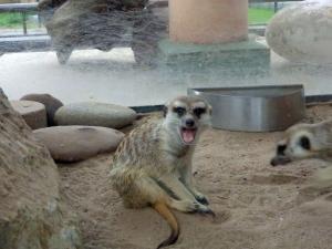 "meerkat...""hi amanda!"""